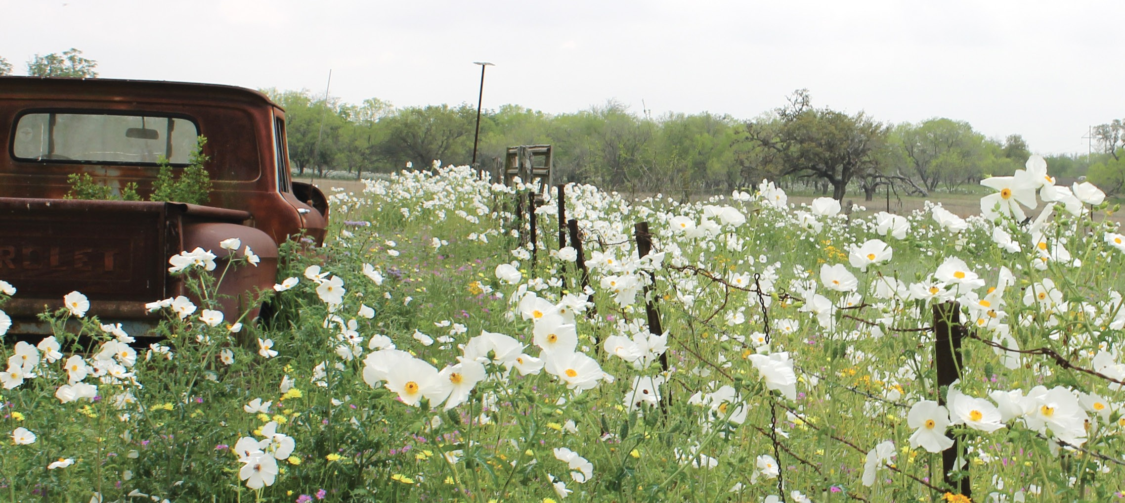 These white prickly poppies help to spruce up the rusty pickup nearby. The flowers are located at the Cardwell place off of Goodwin, west of Oakhaven. Please see more wildflower photos that have been shared by local South Texas readers on page 16C.