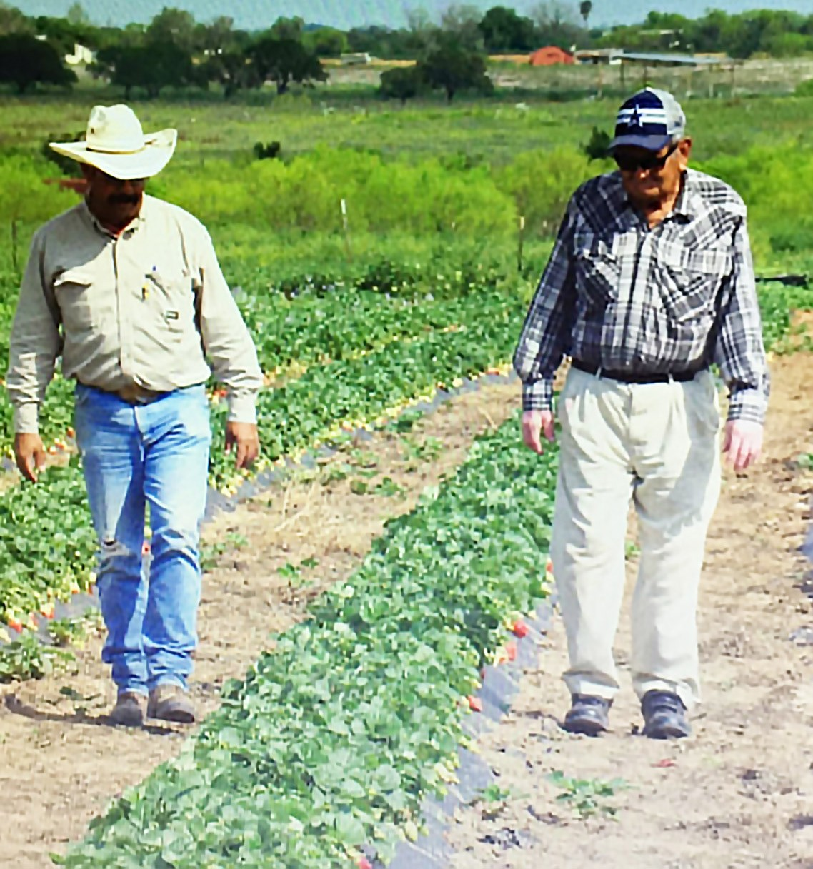 Father and son, Leonard Sr. and Jr., walk the fields shortly before he fell ill last year around Strawberry Festival.